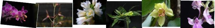 ncku_orchid